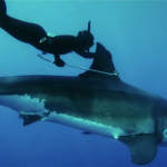 Kimi Werner Free Dives With A Great White Shark