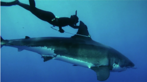 Kimi Werner Swims With Great White Shark