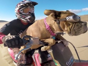 Lexus The Dirt Bike Dog